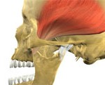 temporalis muscle